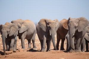 In einer Stunde zählen wir etwa 50 Elefanten.