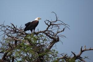 Den Schreiseeadler (African Fish Eagle) entdecken wir im Nambwa-Nationalpark.