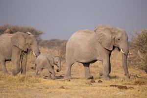 Immer wieder eindrücklich: Elefanten im Nxai-NP.