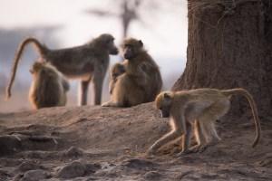Am nächsten Morgen tummeln sich Affen am Wasserloch.