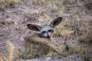Bat-eared Fox oder Löffelhund.
