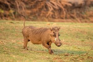 Ein Warzenschwein beim Game Drive am Abend.