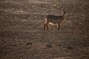 Wasserbock und Perlhühner. South Loungwa NP.