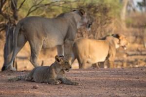 Nach dem Fressen ruht sich das Löwenbaby aus.