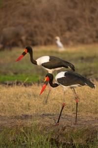 Die Weibchen sind erkennbar an den gelben Augen und den roten Knien.