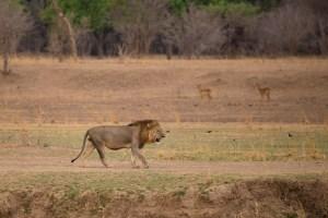 Ein prächtiger Löwe.