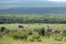 Unweit liegt der Addo Elephant National Park. Die wilden Tiere in einer so grünen Umgebung zu sehen, ist für uns neu.