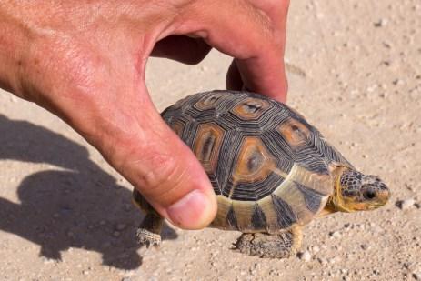 Schildkröten, wenn sie noch klein sind.