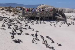 Die Pinguinkolonie bei Simonstown lassen wir uns nicht entgehen.