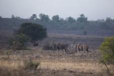 Und endlich sehen wir auch die grösste Antilopenart, Elands, so nahe, dass man sie fotografieren kann.