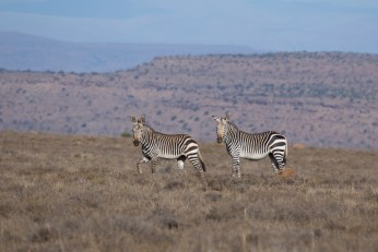 Mountain Zebras im gleichnamigen Nationalpark.