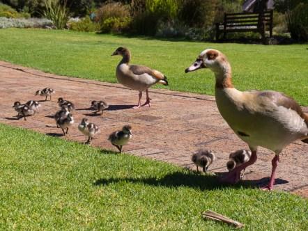 Nilgans-Familie in Kirstenbosch