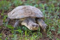 Wir haben uns gerade bei einem Wasserloch platziert, als eine Schildkröte auf uns zu läuft. Hoffentlich geht sie nicht unters Auto.