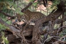 Wir sind noch kaum richtig wach, treffen wir schon auf einen Leoparden. Er hat Beute im Baum.