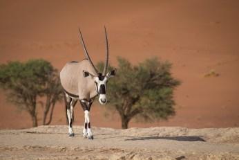 Am Rand vom Dead Vlei taucht ein Oryx auf, das nach Fressbarem Grün sucht.
