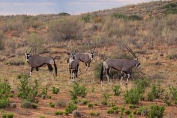 In den Dünen tummeln sich Oryxe.