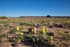 Weil es kürzlich geregnet hat, blüht die Wüste.