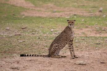 Ein Gepard-Weibchen beobachtet die Umgebung sehr genau...
