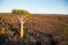 Köcherbaum in der Steinwüste.
