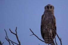 Neuer Tag, neues Glück. Ein Blassuhu oder Verreaux's eagle owl.
