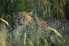 Der Leopard wartet schon im Gebüsch.