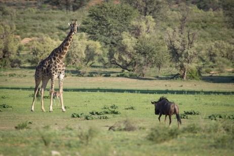 Giraffe gegen Gnu?