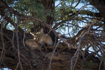 Eine African Wildcat ist keine Hauskatze, sieht ihr aber sehr ähnlich.