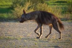 Braune Hyäne. Sie sieht nicht besonders schön aus, aber man bekommt sie selten zu Gesicht.