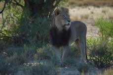 Ein Löwe wie im Bilderbuch.