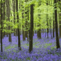 Where to see bluebells in Cornwall