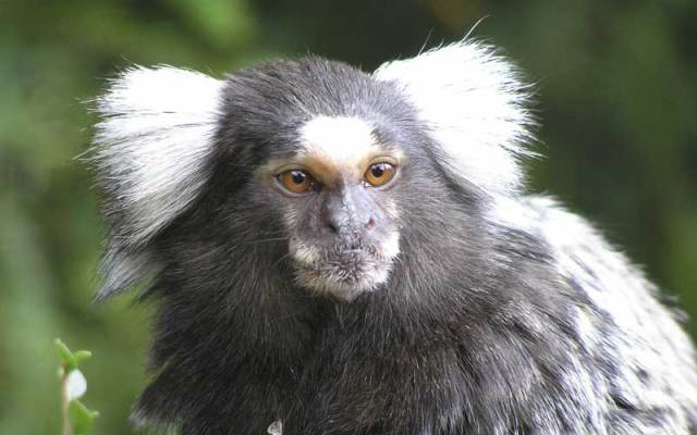 common marmoset facts