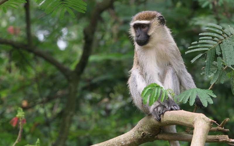 Image result for vervet monkey