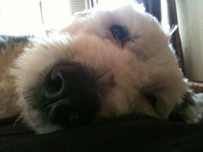 Oscar, the dog, lying down close-up