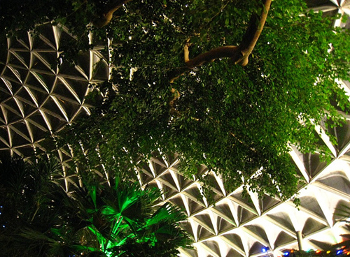 India Fig tree reaching the ceiling of the Bloedel Conservatory