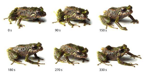 La grenouille transformer