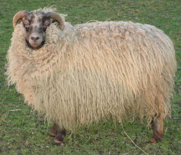 mouton shetland
