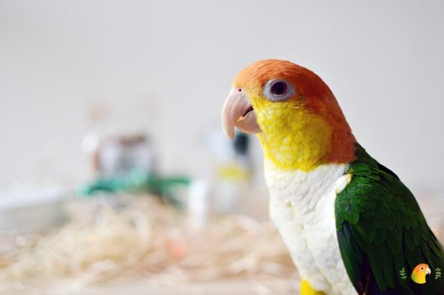 Papegaai Mango