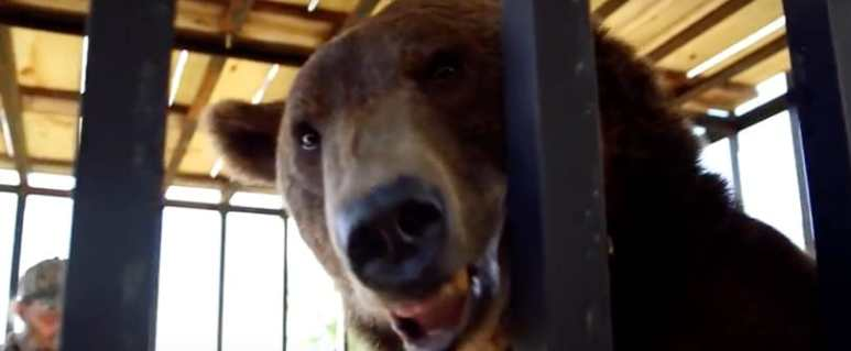 Grizzly in cage