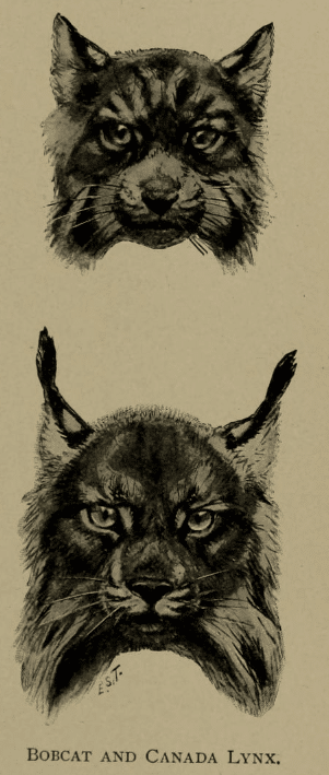 The difference between the bobcat (top) and the Canada lynx (bottom)