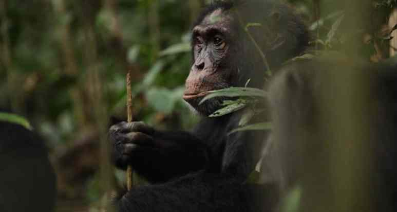 A chimpanzee holding a spear