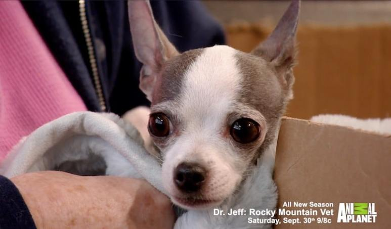 Chihuahua Lucy on Dr Jeff: Rocky Mountain Vet