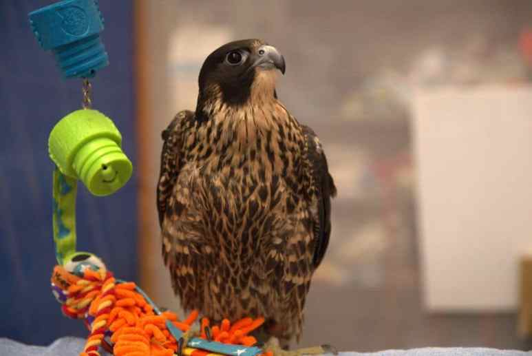 One of the many predator birds rehabilitated in Into Alaska. Pic credit: Animal Planet