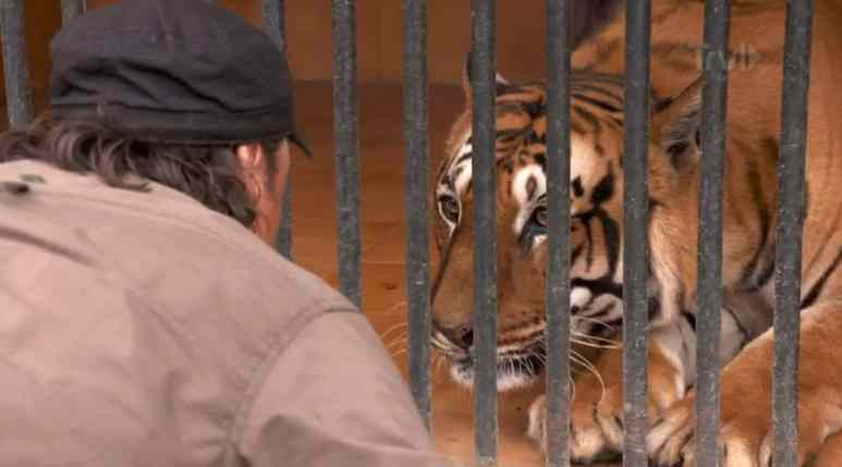 The tiger halts his attack and settles down, but shows Andrson he knows if those bars were not there he would be a tasty snack. Pic credit: Travel Channel