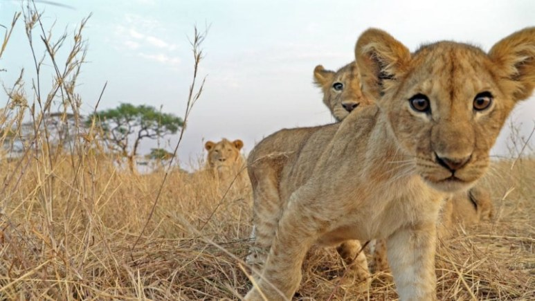 At risk or at play? Lion cubs looking to camera