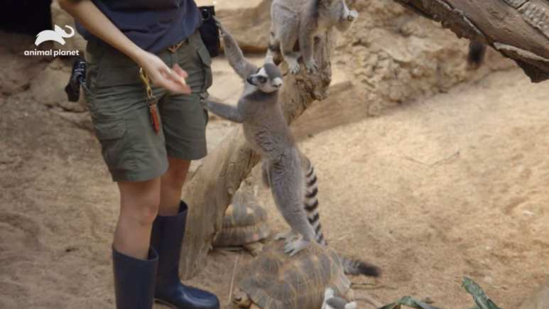 Cheeky lemurs pick the pockets of their handler as they step on tortoises to get their treat. Pic credit: Animal Planet
