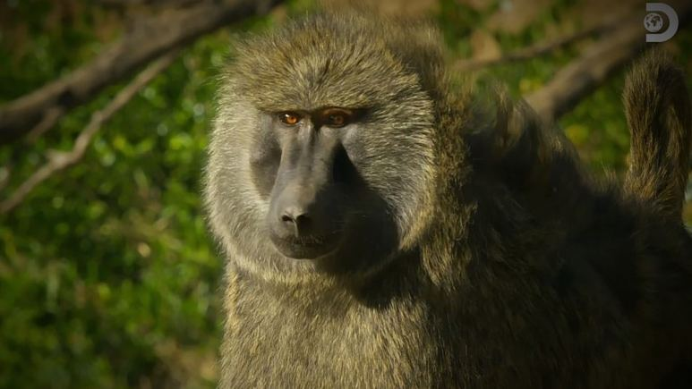 Bakari has a homecoming of sorts and all seems well until the baboons are faced with a leopard on the prowl.Pic credit: Discovery