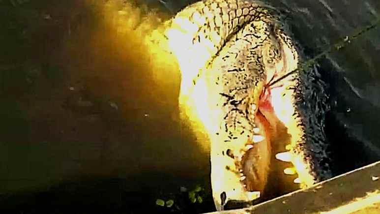 Big Tee's frog loving gator gets the hook. Pic credit; History