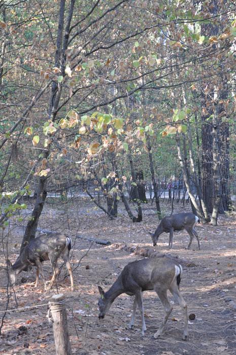 que-ver-yosemite-ciervos