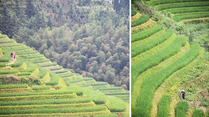 Cómo-visitar-arrozales-Longji-arrozales