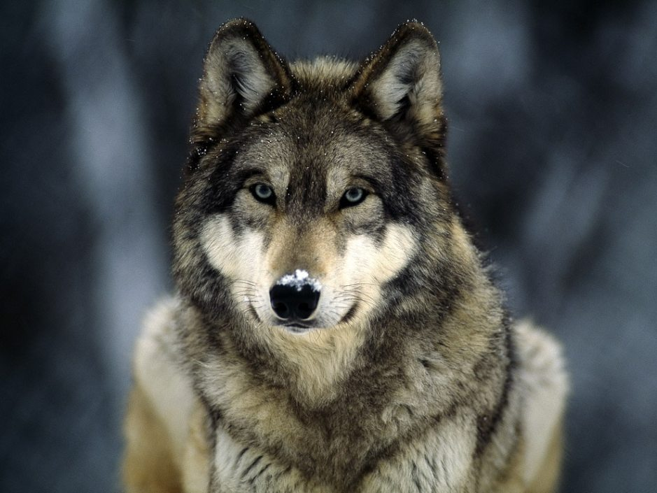 lav, wwf, lupi, bracconaggio, ricompensa, alpi